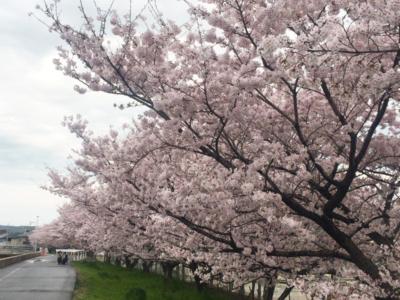ランニングコース_備南中学校_桜の季節